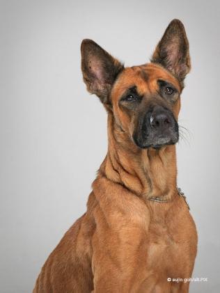Portrait of Ah Girl the dog